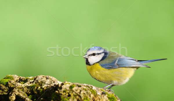 Blue tit,cyanistes caeruleus Stock photo © asturianu