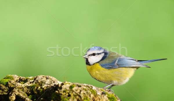 青 売り言葉 自然 鳥 動物 ストックフォト © asturianu