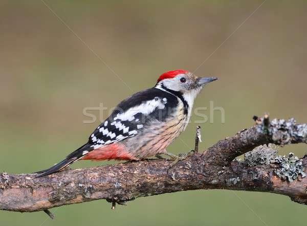 Meio madeira pássaro retrato vermelho animal Foto stock © asturianu
