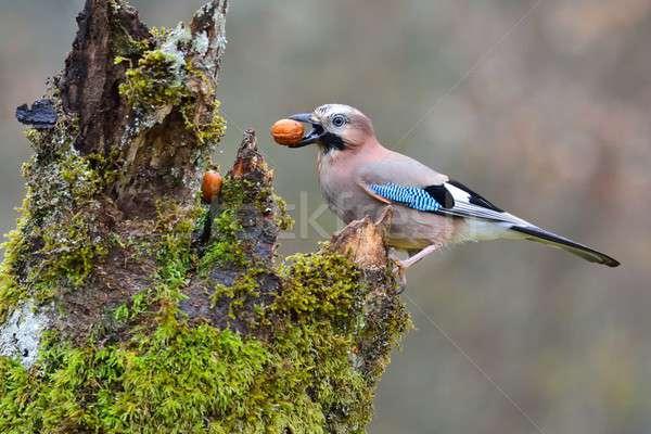 Somun gaga ceviz göz kuş kış Stok fotoğraf © asturianu