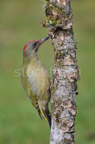 Female european green woodpecker on a branch Stock photo © asturianu
