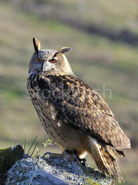 Eagle owl oeil visage yeux orange nuit Photo stock © asturianu