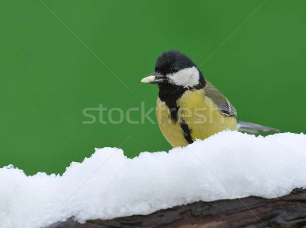 Parus major in the snow. Stock photo © asturianu