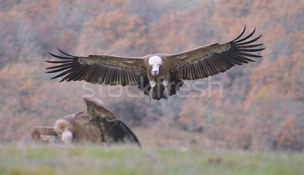 Griffon vulture landing on the meadow. Stock photo © asturianu
