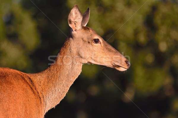 красный оленей осень луговой портрет природы Сток-фото © asturianu