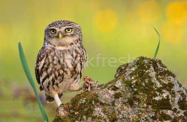A little owl with a grasshopper. Stock photo © asturianu