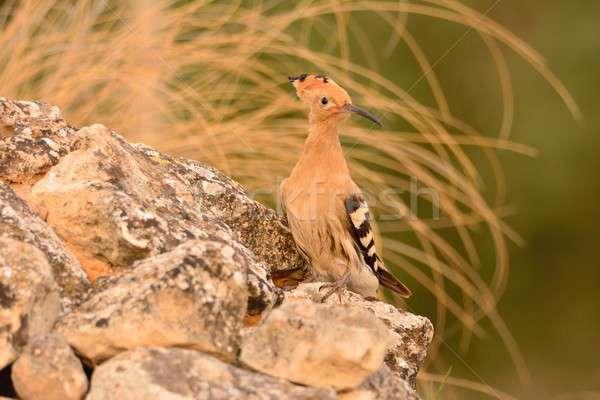 美しい ブラウン 鳥 背景 動物 支店 ストックフォト © asturianu