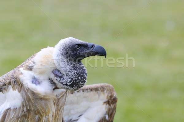 アフリカ 白 ハゲタカ 緑 鳥 羽毛 ストックフォト © asturianu