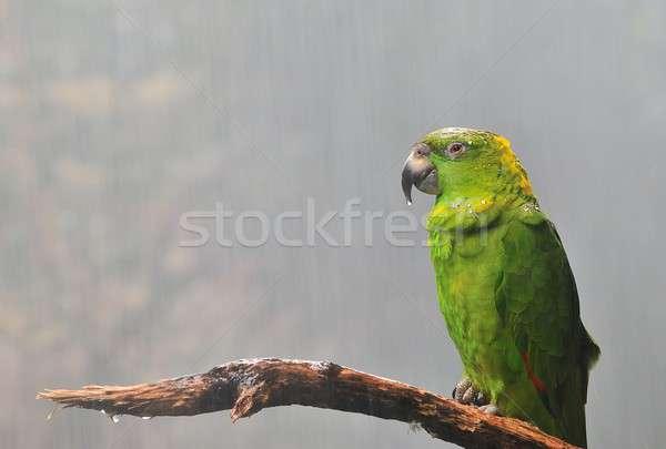 Amazona auropalliata. Stock photo © asturianu