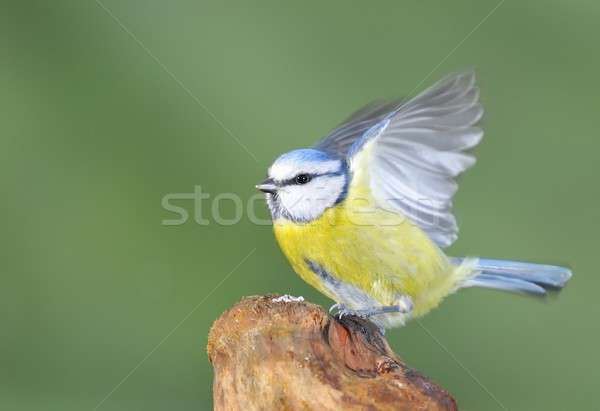 Blue tit, cyanistes caeruleus. Stock photo © asturianu