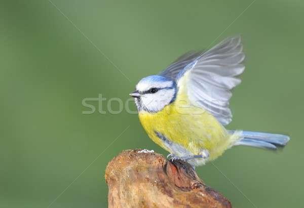 青 売り言葉 自然 鳥 ストックフォト © asturianu