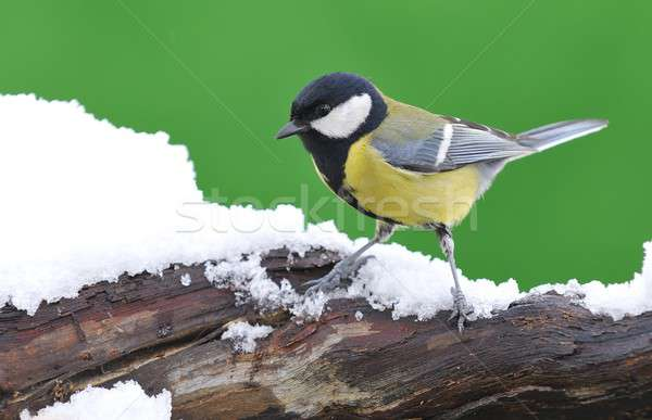Close-up of little tit sitting on snowed branch Stock photo © asturianu