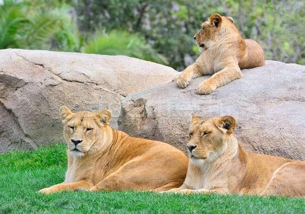 lionesses lying on green grass Stock photo © asturianu