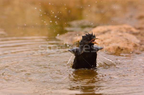 Spotless starling bathing in a pond. Stock photo © asturianu