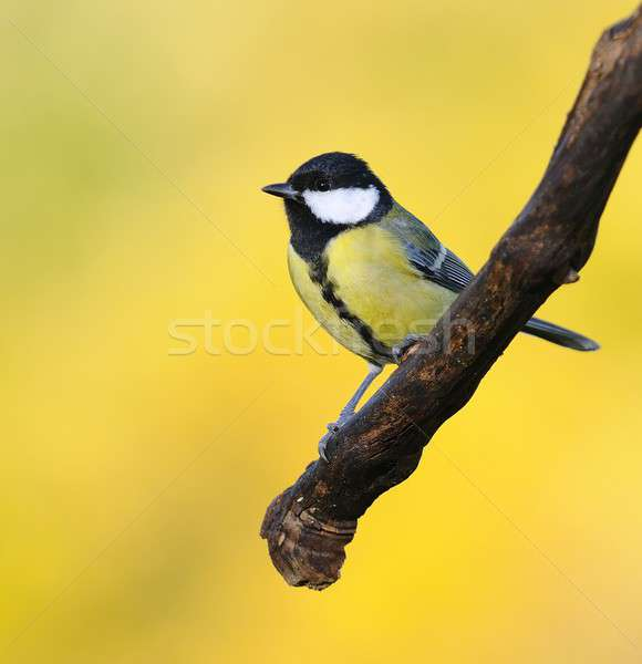 Great tit on yellow background. Stock photo © asturianu