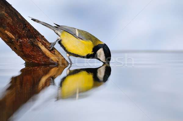 Great tit on water. Stock photo © asturianu