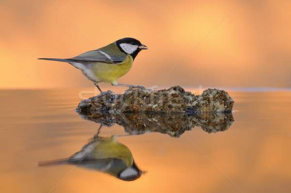 Тит птица сидят каменные Сток-фото © asturianu