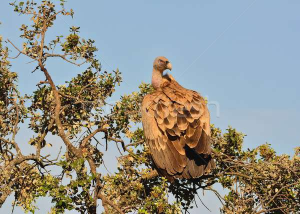 Griffon vulture in the meadow of Extremadura. Stock photo © asturianu