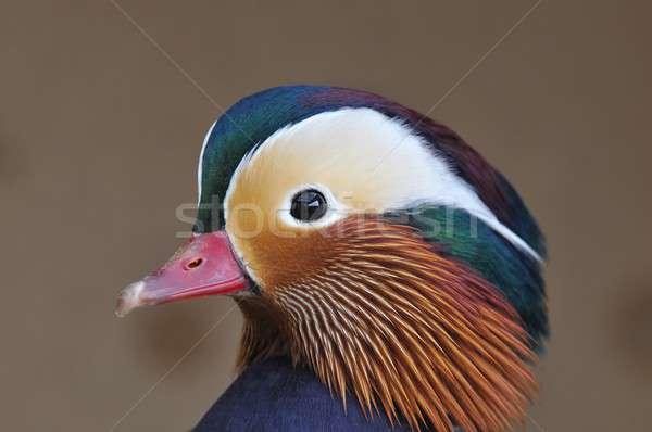 Mandarijn- eend mannelijke natuur schoonheid vogel Stockfoto © asturianu