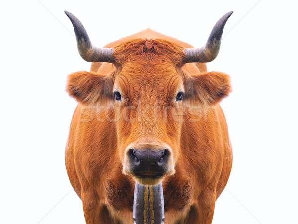 牛 孤立した 自然 風景 山 夏 ストックフォト © asturianu