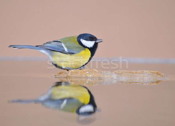 Great tit in the water. Stock photo © asturianu