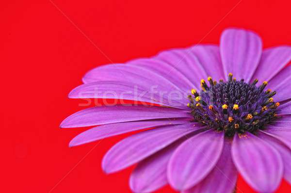 Piros kert szín színek lila dekoráció Stock fotó © asturianu