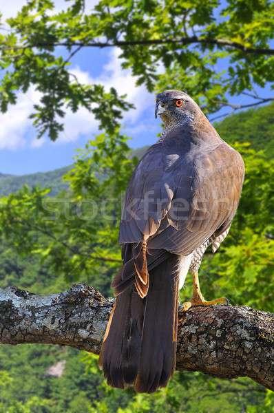 Goshawk in forest. Stock photo © asturianu