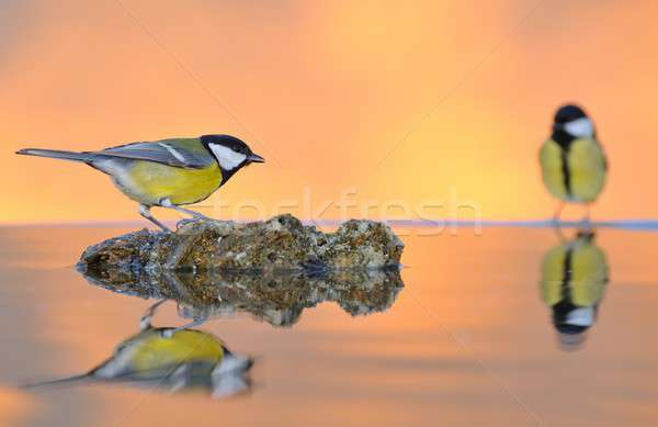 Great tit in water. Stock photo © asturianu