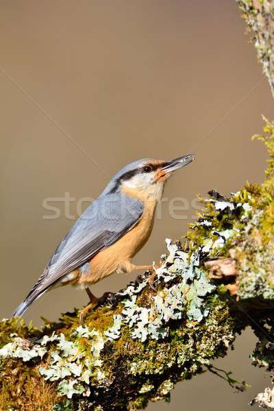 Eurasian nuthatch perching. Stock photo © asturianu