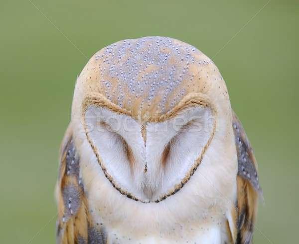 Barn owl. Stock photo © asturianu