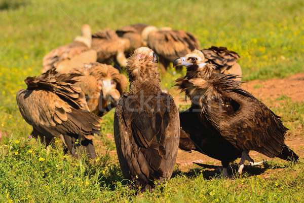 Cinereous vulture with griffon vultures Stock photo © asturianu