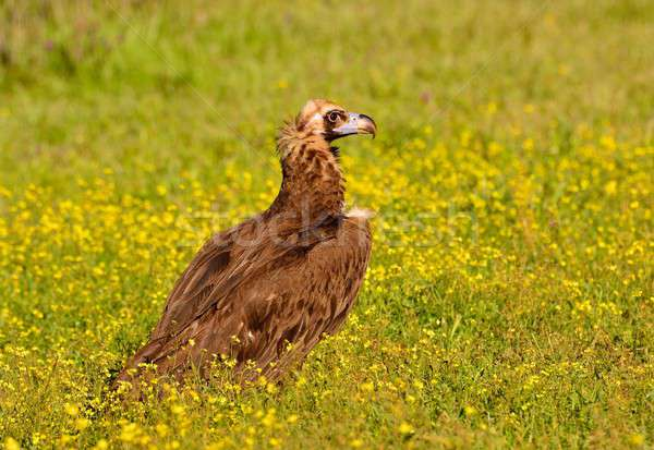 Cinereous vulture walking in grass Stock photo © asturianu
