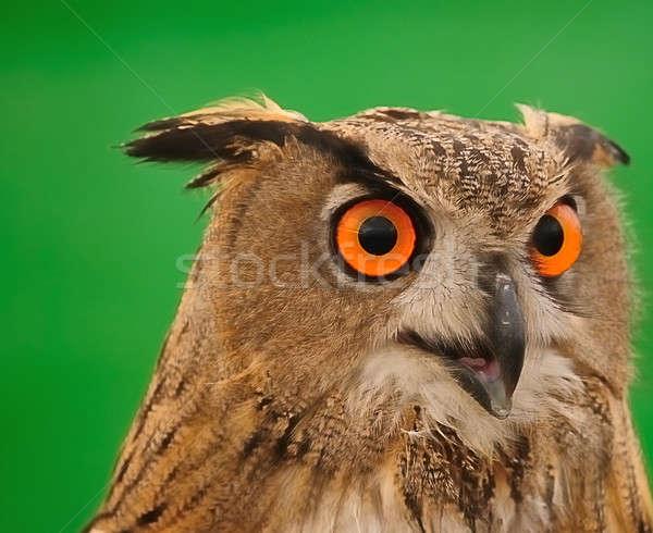 Real coruja olhos pássaro Foto stock © asturianu