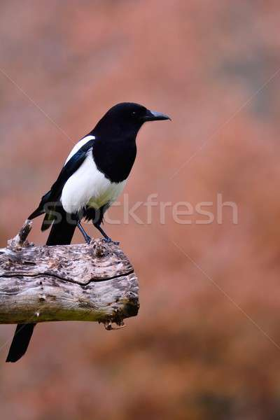 Magpie perched on a tree. Stock photo © asturianu
