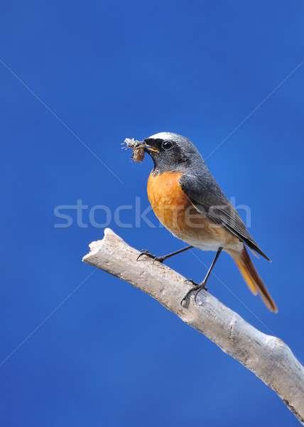 Redstart. Stock photo © asturianu