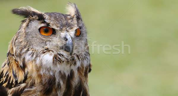 Eagle owl vert oiseau portrait Photo stock © asturianu