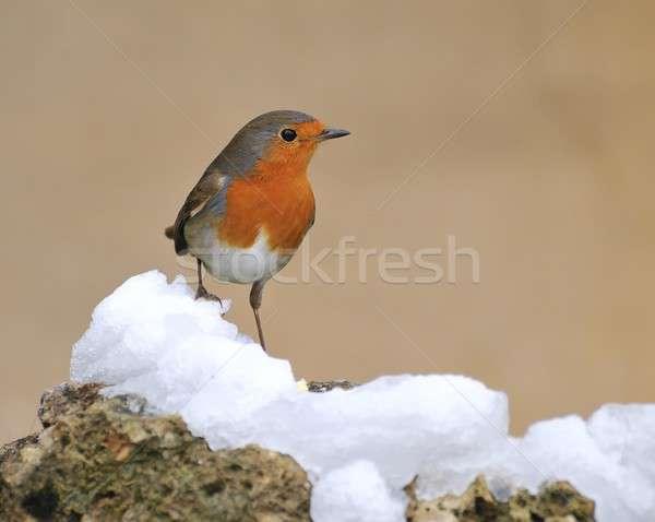 雪 庭園 オレンジ 鳥 冷たい 野生動物 ストックフォト © asturianu