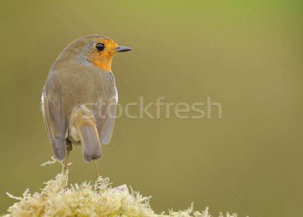 Close-up of little robin sitting on fern Stock photo © asturianu