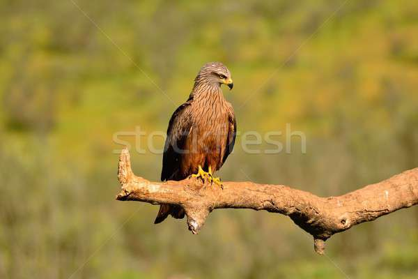 Black kite on leafless branch Stock photo © asturianu