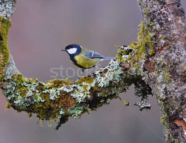 Great tit perched on a branch. Stock photo © asturianu