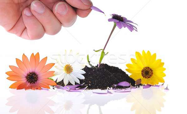 Plucking the daisy. Stock photo © asturianu