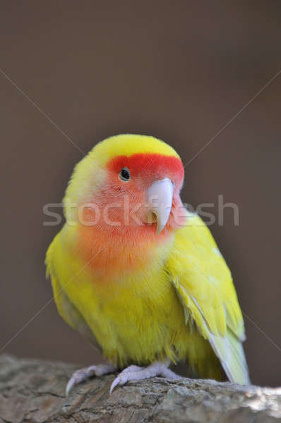 Lovebird. Stock photo © asturianu