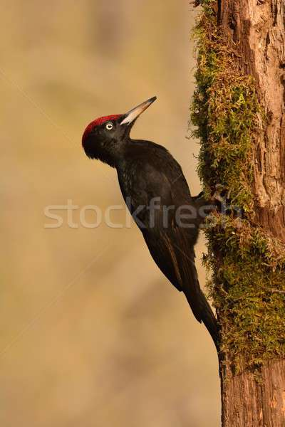 Black woodpecker, Dryocopus martius perched on old dry branch. Stock photo © asturianu
