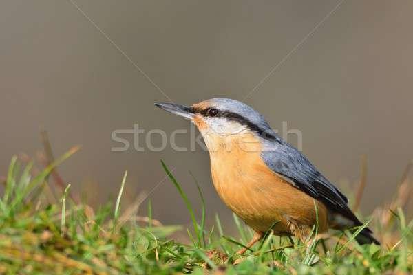 Eurasian nuthatch perching. Stock photo © asturianu
