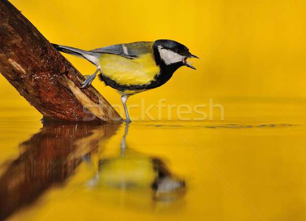 Great tit drinking water in the pond. Stock photo © asturianu