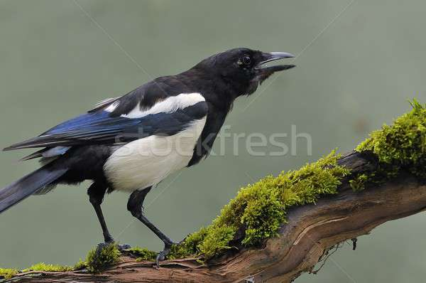 Magpie Stock photo © asturianu