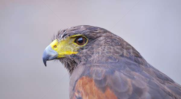 Stock photo: Harris Hawk.