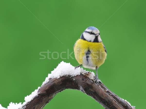 Blue tit,cyanistes caeruleus Stock photo © asturianu