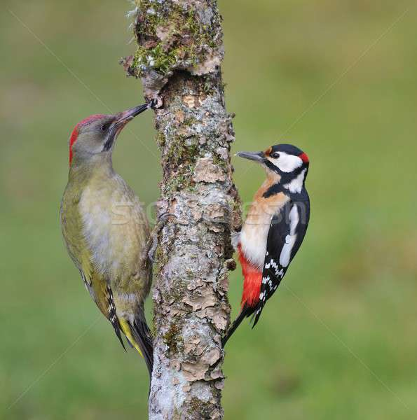 European green woodpecker and  great spotted woodpecker Stock photo © asturianu