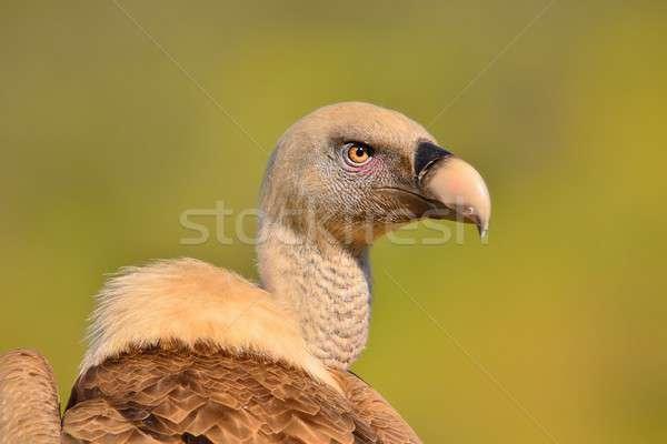 гриф голову бежевый коричневый Сток-фото © asturianu